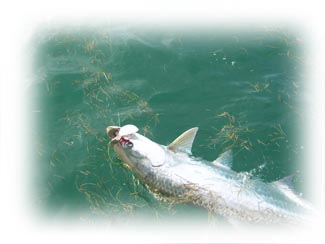 Tarpon Fishing Tutorials - 2